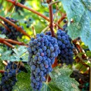 Several bright blue and purple grape clusters are visible between the leaves of a Cabernet Sauvignon vine.